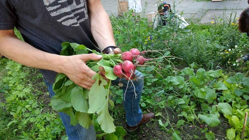 009 Erste Ernte Urban Gardening-IMG_20170619_190857944